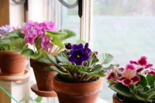 Small Plants That Don T Need Sun by African Violets How To Achieve Constant Bloom