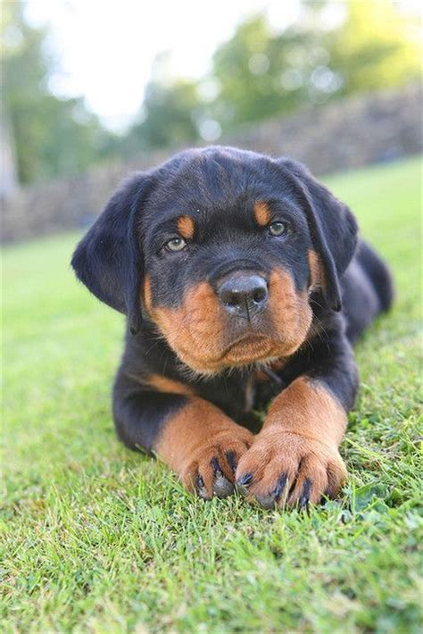how big do rottweiler dogs get green eyed rottweiler puppy what a sweetie rottweiler beautiful