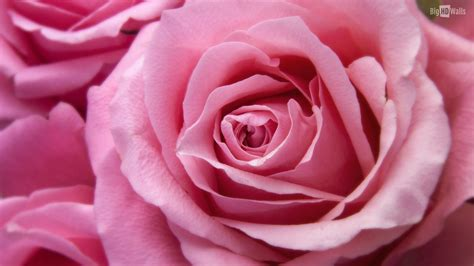 pink rosary 10 beautiful hd wallpapers of roses bighdwalls