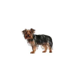morkie puppies michigan morkie puppies breed info petland novi michigan
