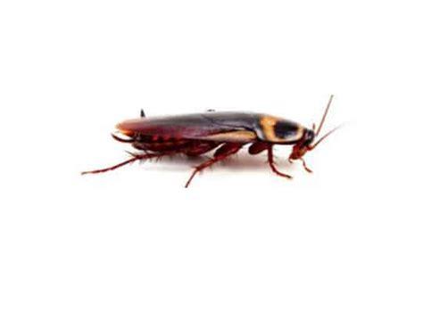 blatte rosse volanti blatte rosse volanti 28 images descrizione insetti