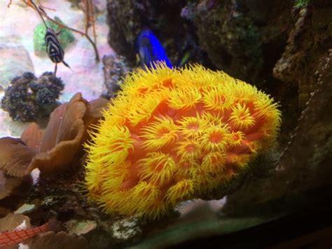 low light corals for sale beginner coral species low light corals ratemyfishtank com