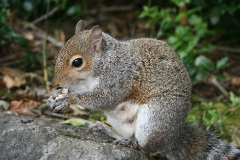 how to a squirrel how to get rid of squirrels methods for repelling squirrels
