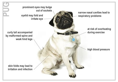health problems with pugs health risks for seven top breeds canna pet 174