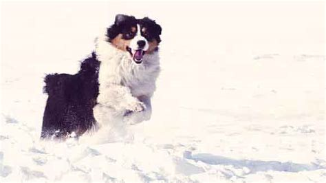 how much to feed australian shepherd puppy how much should an australian shepherd eat petcarerx