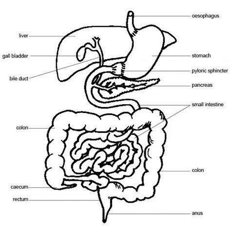 human digestive system diagram line diagram of human digestive system diagram of