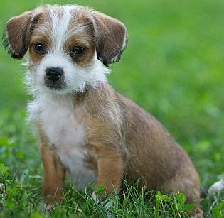 haired chihuahua and shih tzu mix shichi shih tzu chihuahua info temperament puppies pictures