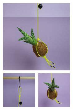 Japanischer Fächerahorn Kaufen 241 by Kokedama Tiger Aloe The Botanical Room Onlineshop