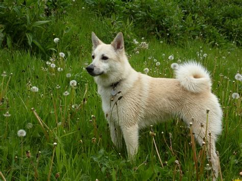 m dogs buhund breed guide learn about the
