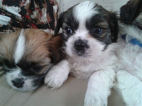 lhasa apso shih tzu difference lhasa apso and shih tzu difference and pictures breeds picture