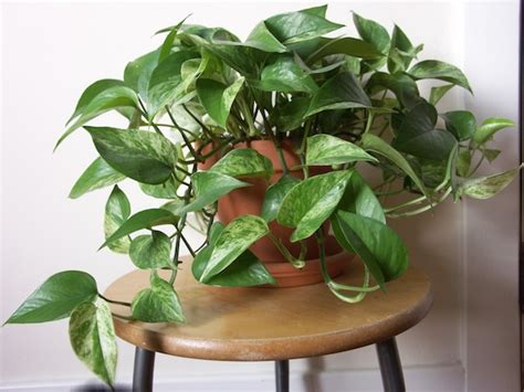indoor vine plant 15 best houseplants for beginners balcony garden web