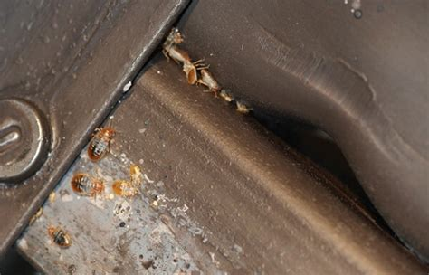 how to check if you have bed bugs how to check for bed bugs local pest control
