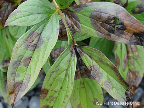 plant leaf diseases peony plant and insect diagnostic clinic