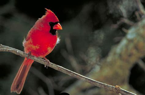 file northern cardinal cardinalis cardinalis jpg