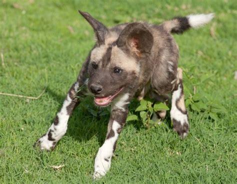 puppy den al feisty puppies emerge to frolic zooborns