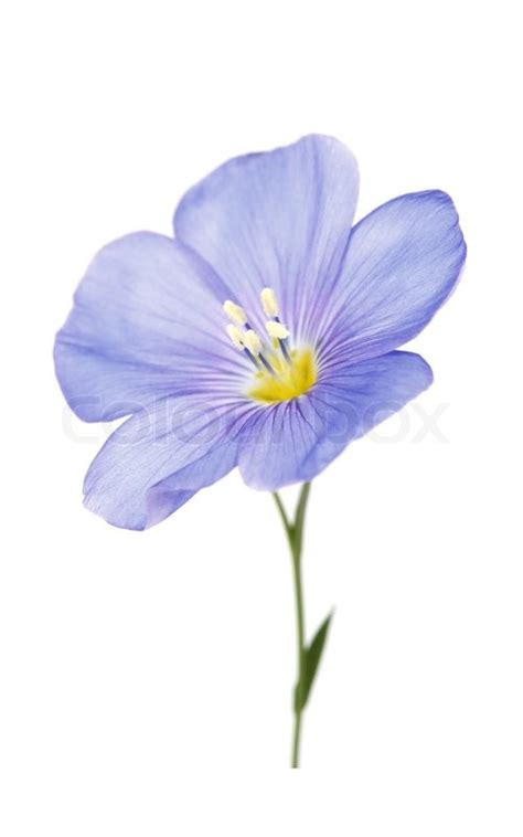 a z of flower portraits 1844484521 one flower of flax stock photo colourbox