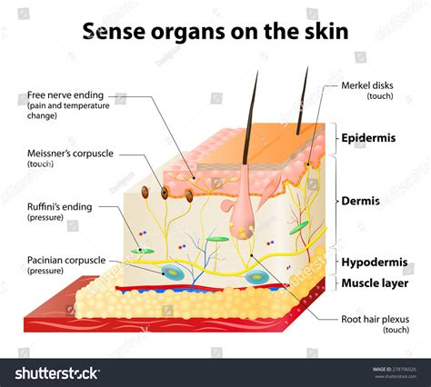 anatomy of human skin layer and arm stock vector 689023216 istock sense organs on skin skin layers stock vector 278796026