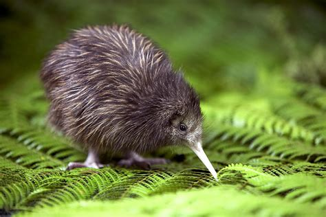 can dogs eat kiwi kiwi bird endangered birds