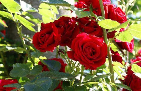 un jardin de rosas rojas rosal con rosas rojas im 225 genes y fotos