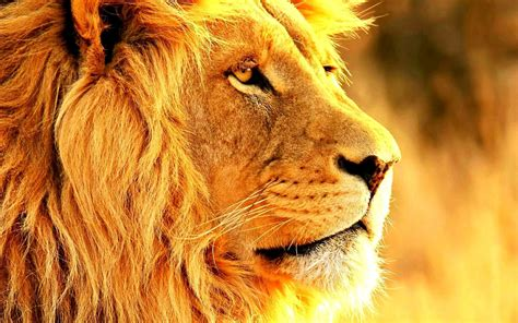 imagenes de leones full hd nature wallpaper animales leones saddlebrown