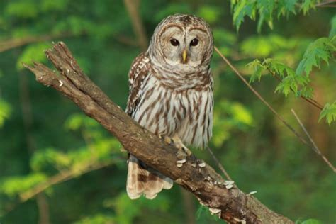 barred owl owl rescue