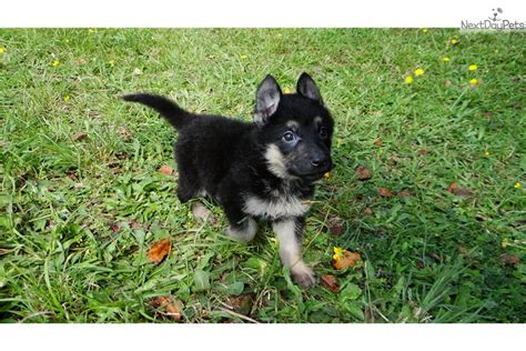 german shepherd puppies atlanta german shepherd puppy for sale near atlanta 99bdc8ed 96c1