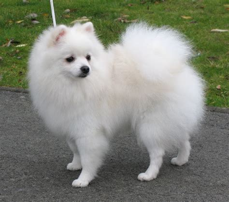 white pomeranian puppy 36 most amazing white pomeranian pictures and photos