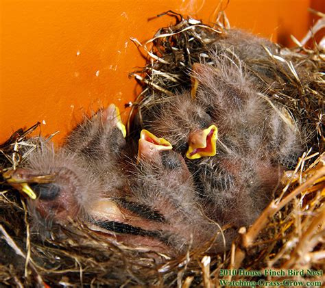 baby house finch baby house finch bird www imgkid com the image kid has it