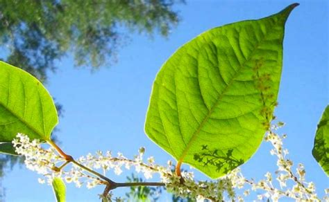 would you buy a house with japanese knotweed japanese knotweed removal cornwall devon somerset uk