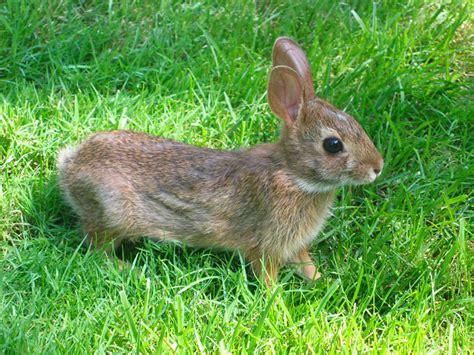 rabbit bunny 40 brown bunny rabbit themescompany