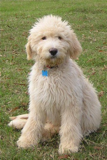 miniature goldendoodle lifespan 25 best ideas about doodle on doodle