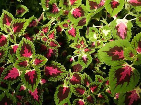 coleus plants   grow  propagate  painted nettle