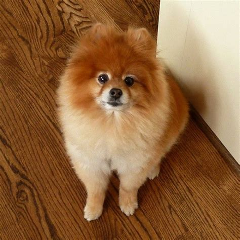 how do pomeranians live 1000 images about pomeranians on teacup pomeranian white pomeranian and pets