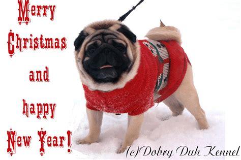 merry pug merry 17 december 2012 dobry duh pug kennel