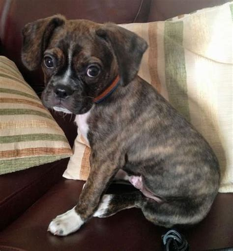 pug and boxer mix puppies 15 best images about pug boxer mix on