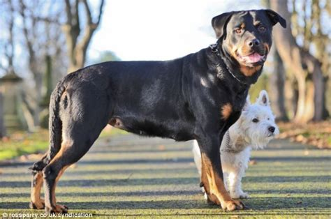 rottweiler pregnancy time this terrier got a rottweiler and you really to see their puppies