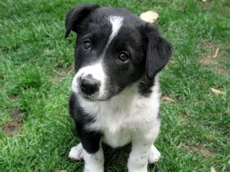 border collie pug mix puppies border collie x 2 puppies for sale dogs for sale in ontario canada curious puppies