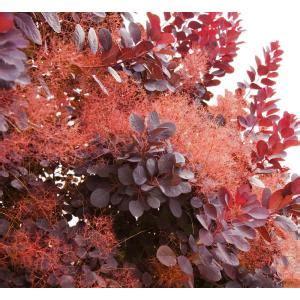 orchards  gal royal purple smokebush shrub