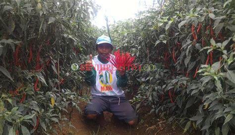 Agribisnis Cabai Hibrida cabai keriting mulai memerah benih pertiwi