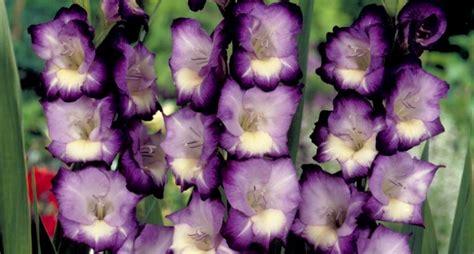 fiore gladiolo gladiolo gladiolus gladiolus bulbi gladiolo