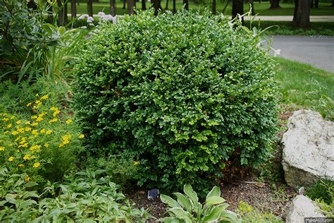 how to prune a meatball boxwood the impatient gardener