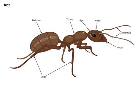 ant diagram ant diagram 28 images 42 best images about ant anatomy