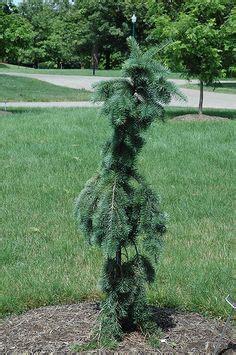 libro bonsai from native trees pseudotsuga menziesii douglas fir san diego native foliage