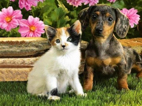 puppy and cat puppy and kitten wallpaper
