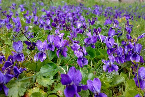 le violette fiori v come violetta extrait