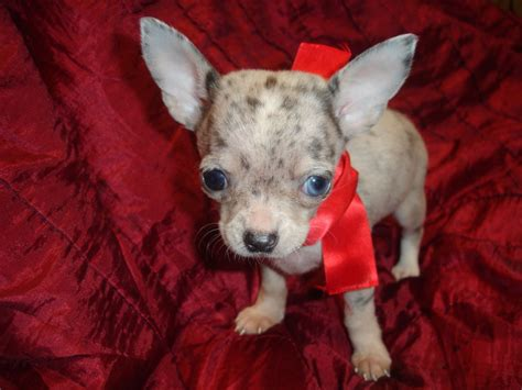 blue merle teacup chihuahua puppies sale silver blue merle teacup chihuahua salford greater manchester pets4homes
