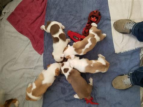 augie puppies for sale mini aussie corgi or quot auggie quot puppies for sale nex tech classifieds