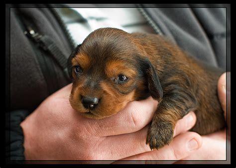 doxon puppy 5272937609 87fe3c6c43 z jpg