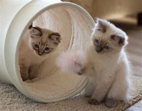 a ragdoll kitten miss lilly and maddison ragdoll kittens of the month