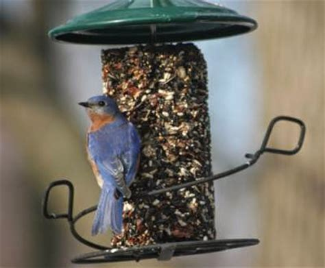 wild birds unlimited providing food for bluebirds